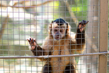 Capuchin Monkey In Cage At Zoo.