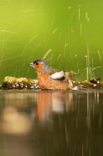 Chaffinch Bird In Water