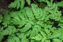 The Leaves Of The Cow Parsley ...