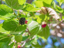 Fruits Of A Blackberry Tree In Early Summer Surrounded By Large Green Leaves