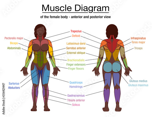 Photo Muscle diagram, most important muscles of an athletic black man, anterior and posterior view, male body
