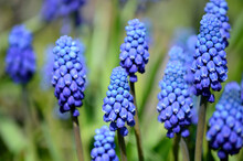 Beautiful Blue Muscari Botryoides Flowers, Also Knows As Grape Hyacinth In Summer Sunshine