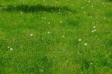 Dandelions Are Growing. Nature...