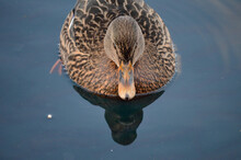 Beautiful Female Mallard Duck ...