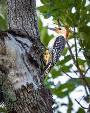 Red-bellied Woodpecker In Cull...
