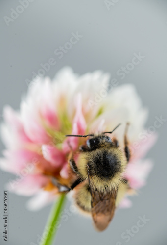 Close up of Honey Bee on White Dutch Clover Flower