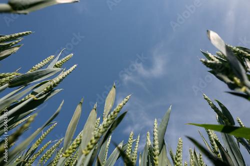 Fototapeta blé des champs