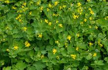 Close Up Of Chelidonium Majus (greater Celandine, Nipplewort, Swallowwort Or Tetterwort) A Herbaceous Perennial Plant Use In Herbal Medicine