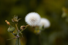 Very Fluffy Dandelion On The Sidewalk