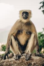 Gray Langur Monkey Sitting On Concrete Fence