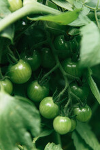 Fresh Green Tomatoes On The Vine In A Farm Garden