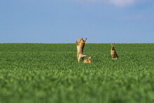Fighting Hares In The Middle O...