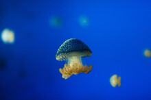Yellow Jellyfish In Blue Water