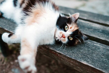 White Local Cat With Black And Red Spots Lying On Wooden Street Bench And Lazily Stretching While Looking At Camera With Smart Look In Turkey In Istanbul