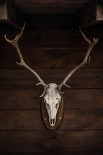 Deer White Skull With Horns Skull Attached To Wooden Wall In Countryside House In Cantabria