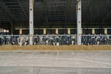 Interior Of Modern Cow Barn In...