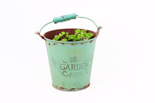Basil Seedling Plant In A Mint...