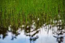 Grass And Pond Close Up, Daisetsuzan National Park, Kamikawa, Hokkaidō, Japan, Asia