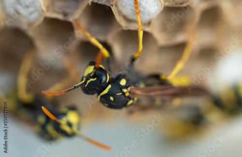 Obraz na plátně Avispa sobre nido. Ocelos. Ocelo.