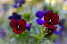 A Close Up Of A Pansies