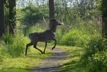 White Tail Deer Buck Runs Acro...