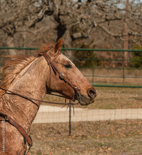Red roan horse running