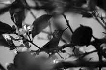 Picaflor, Colibri O Hummingbird