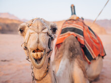 Close Up Of Camel With Open Mo...