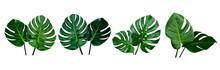 Collection Of Green Monstera T...