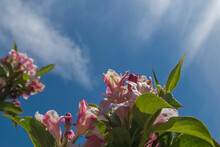 Pink And White Clusters Of Spreading Flowers Of The Flowering Weigela Shrub Framed By Oblong Sharp Sawtoothed Green Leaves Located Against Blue Sky With Rare Clouds, Shot Was Taken Opposite The Sun.