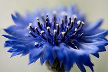 Cornflower, Centaurea Cyanus, ...