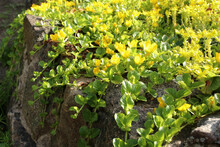 Goldmoss Stonecrop On The Flowerbed.  Also Known As The  Sedum Acre, Mossy Stonecrop, Goldmoss Sedum, Biting Stonecrop And Wallpepper.