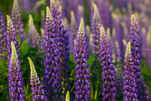Blue And Purple Lupines Bloomi...