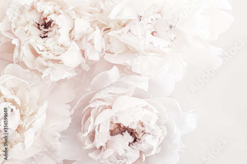 Fotografie, Obraz Pastel peony flowers in bloom as floral art background, wedding decor and luxury