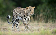 One Adult Male Leopard Walking...