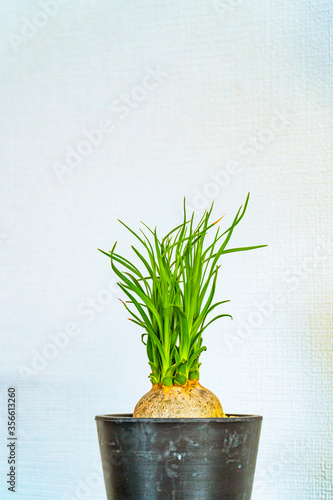 Fotografering A wiry leaved plant isolated against a white wall.