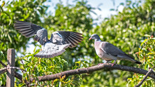 Pigeons In The Garden On A Branch
