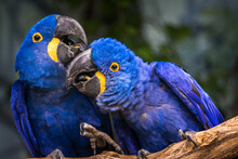Hyacinth Macaw Portrait In Nature
