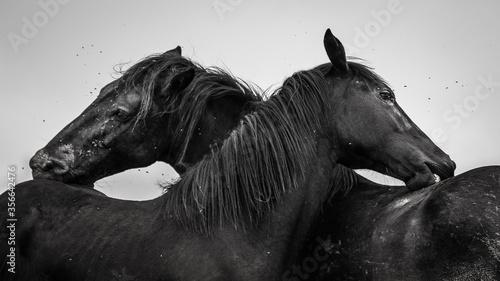 Amour de chevaux Canvas Print