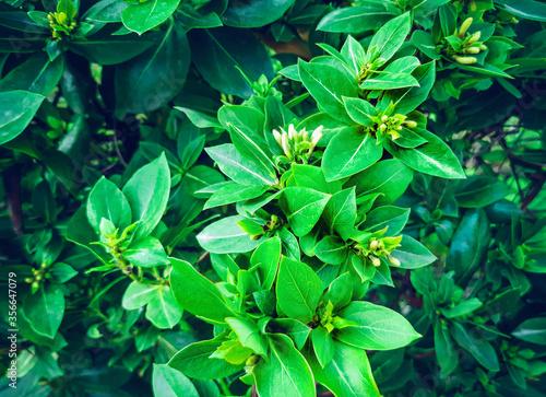 Obraz na plátně Green foliage of entwined decorative green ivy