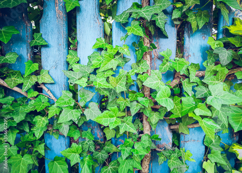 Fotografie, Obraz Old cracked rustic fence made of blue wood planks entwined with growing green ivy