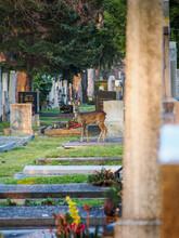Female Deer Running Through The Vienna Central Cemetery