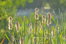 Typha Plant Commonly Known As Cattail Growing In Seaton Wetlands Nature Reserve, Devon