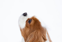 Cavalier King Charles Spaniel On A White Background Looks Up. Portrait Of A Dog On A Lighted Background.