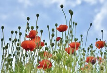 Red Poppy Flowers Against A Blue Sky Background.