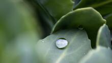 Drop Of Water Rain Dew On Gree...