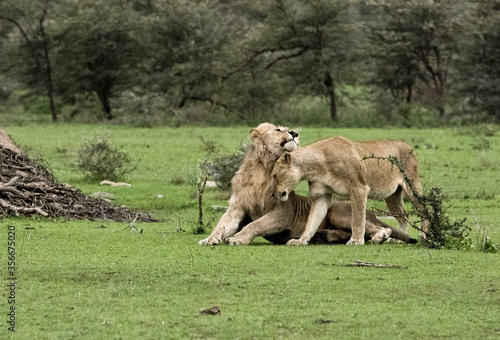 Cuadros en Lienzo Simba & Nala having a cuddle.
