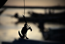 Silhouette Of A Crab Freshly C...