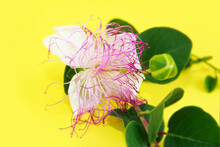 White Passion Flower With Pink Stamens