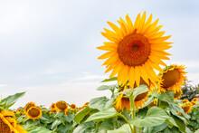 Sunflowers Of Blue Sky
